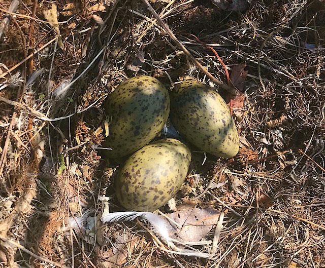 Gull nest eggs 5-16-18.